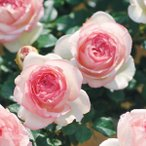 バラ ピエールドゥロンサール 1株 / 薔薇 ばら 苗
