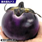 接木野菜苗 ナス 接木F1イタリア大丸ナス 2株