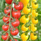 野菜たね トマト F1 CFプチぷよ赤・黄セット 2種2袋