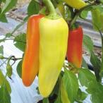野菜たね ピーマン F1サミーRZ 1袋(10粒) / 種 タネ