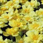 花たね マリーゴールド アルミア バニラクリーム 1袋(20粒) / タネ 種
