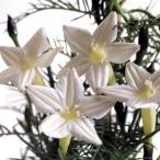 花たね つる植物 るこう草 白 1袋(25粒)