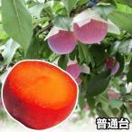 果樹苗 スモモ 貴陽 富士野生桃R 1株