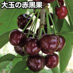 果樹苗 サクランボ ダークビュート 3株 / 果物苗 フルーツ苗 さくらんぼ 桜桃