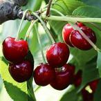 果樹苗 サクランボ アメリカンチェリー 1株 / 果物苗 フルーツ苗 さくらんぼ 桜桃