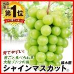 ブドウ 苗木 シャインマスカットP 接木苗 3株 / ぶどう 葡萄 苗 ぶどうの木 ブドウの苗木 果樹苗