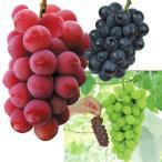 果樹苗 ブドウ 大粒ブドウセット 3種3株
