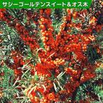 果樹苗 サジー ゴールデンスイート&オス木 2種2株 / 果物苗 フルーツ苗