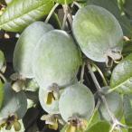 果樹苗 フェイジョア クーリッジ 1株