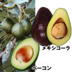 果樹苗 トロピカルフルーツ 寒さに強いアボカドセット 2種2株