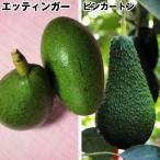 果樹苗 トロピカルフルーツ 大玉アボカドセット 2種2株