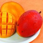 果樹苗 トロピカルフルーツ アップルマンゴー(アーウィン) 3株
