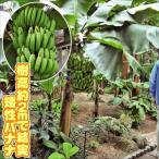 果樹苗 トロピカルフルーツ バナナ 三尺バナナ 3株