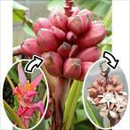 果樹苗 トロピカルフルーツ バナナ アケビバナナ 3株