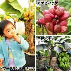 果樹苗 トロピカルフルーツ バナナセット 3種3株