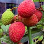 果樹苗 トロピカルフルーツ ライチ 佐多レイシ 3株 / 果物 フルーツ苗