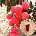 果樹苗 トロピカルフルーツ ライチ 糯米レイシ 1株 / 果物 フルーツ苗