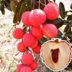 果樹苗 トロピカルフルーツ ライチ 糯米レイシ 3株 / 果物 フルーツ苗