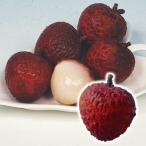 果樹苗 トロピカルフルーツ ライチ 黒葉 3株 / 果物 フルーツ苗