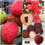 果樹苗 トロピカルフルーツ ライチセット 3種3株