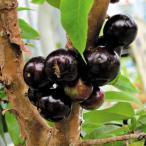 果樹苗 トロピカルフルーツ ジャボチカバセット 2種2株 / 果物 フルーツ苗