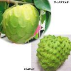 果樹苗 トロピカルフルーツ チェリモヤセット 2種2株