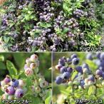 果樹苗 ブルーベリー ローブッシュ系セット 3種3株