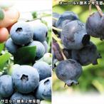 果樹苗 ブルーベリー 大粒サザンハイブッシュ系セット 2種2株