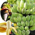 果樹苗 バナナ ナムワーバナナ 3株