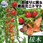ショッピングトマト 送料無料 接木野菜苗 ミニトマト 接木F1CFプチぷよ 8株