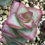 多肉植物 クラッスラ属 星の王子 1株