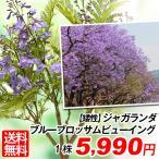 送料無料 花木 矮性 ジャガランダ ブルーブロッサムビューイング 1株