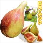 果樹苗 イチジク バナーネR1株
