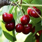果樹苗 サクランボ アメリカンチェリー 1株