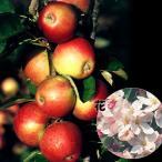 果樹苗 リンゴ ワルツR 1株