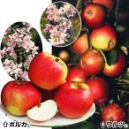 果樹苗 リンゴ 省スペースミニリンゴセット 2種2株
