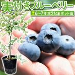 送料無料 果樹苗 ブルーベリー 実つきプレミア 挿木6〜7年生苗 1株