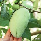 果樹苗 ポポー マンゴー 1株