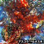 果樹苗 シーバックソーン(サジー) アスコラ&オス木 2種2株