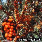 果樹苗 シーバックソーン(サジー) バイカル&オス木 2種2株