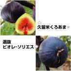 果樹苗 オススメイチジクセット 2種2株