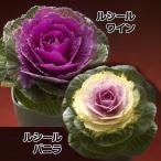 花苗 葉牡丹 ルシールセット 2種6株