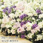 花苗 ネメシア ポエトリーセット 3種12株