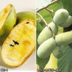 果樹苗 ポポー 激安大実ポポーセット 2種2株