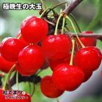 果樹苗 サクランボ 紅てまりPウイルスフリー 1株