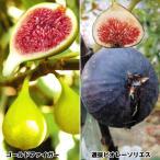 果樹苗 イチジク 美麗美味イチジクセット 2種2株