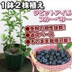 果樹苗 ブルーベリー T−100&ティフブルー 1株