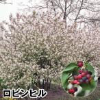 果樹苗 ジューンベリー ロビンヒル 1株