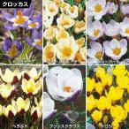 秋植え球根 寒咲クロッカスセット 6種60球(各10球)