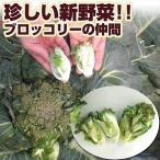 種 野菜たね ピッコラホワイト 1袋(40粒)